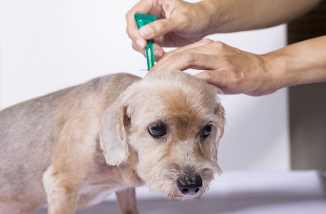 Best Recommended Flea Treatment For Dogs