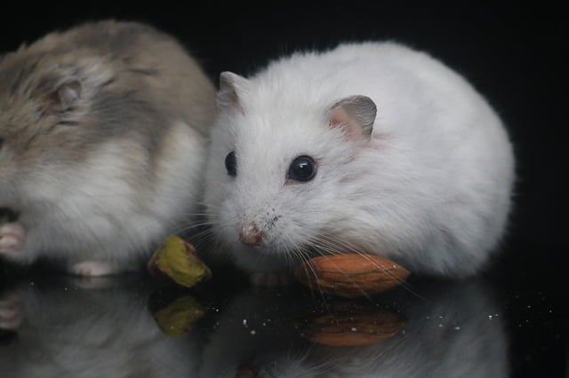 Why Do Hamsters Get Tumors